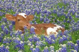 baby cow and bluebonnets